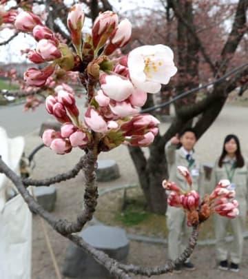 山形市職員が開花を確認した霞城公園のソメイヨシノ=山形市