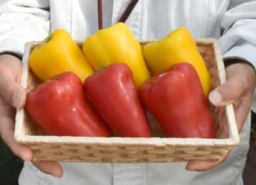 県総合農業試験場が開発した辛みのある赤い大型カラーピーマン「Pプロ15-65」と、青臭さを軽減した黄色い「Pプロ15-635」
