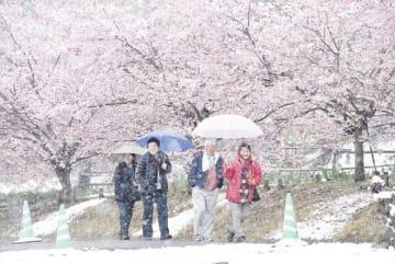 桜に雪が降る中、傘を差して歩く観光客=10日午後、秩父市大宮の羊山公園内の「芝桜の丘」