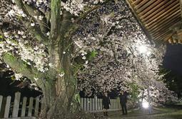 照明を受けて浮かび上がる親子桜=佐保神社