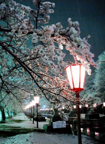 満開の桜の木に降り積もった雪=10日午後8時10分ごろ、相馬市・馬陵公園