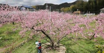 西日本豪雨の浸水被害を乗り越え、開花した桃畑で人工授粉の作業に励む剣持さん=総社市福谷