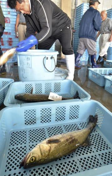 昨年6月に再開された、福島県沖のスズキ漁。好漁場で、主要魚種全ての漁が復活した。