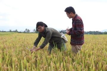 南京農業大学の研究者、多収で病害抵抗性の高いイネの新品種を開発