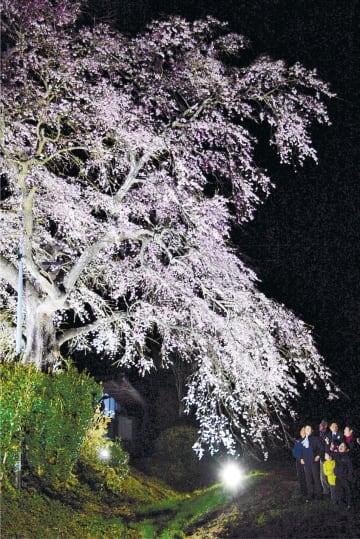 照明で浮かび上がったエドヒガンを楽しむ地域住民ら