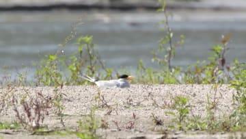 絶滅危惧種、カワアジサシのひなを守る 雲南省盈江県