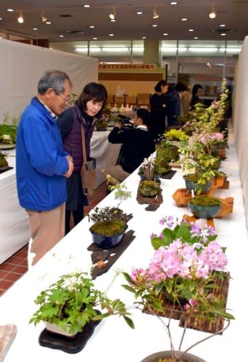 フジやシャクナゲ、サクラソウなどかわいい春の花々が並ぶ山野草展=武雄市文化会館