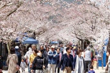 ピンク色のアーチをつくった「がいせん桜」=岡山県新庄村