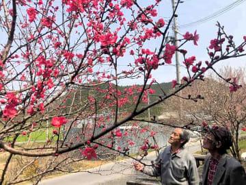 赤い花が見頃を迎えたハナモモを見上げる牧野さん(左)と南出さん=栗東市下戸山