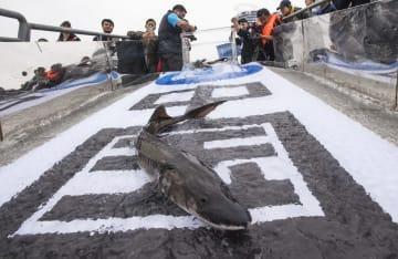 大型のカラチョウザメ700匹を長江に放流 湖北省