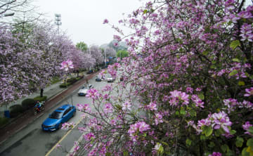 ピンクに染まる通り 広西·柳州市でバウヒニアが見頃