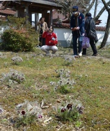 円城寺の境内でかれんな花を咲かせたオキナグサ