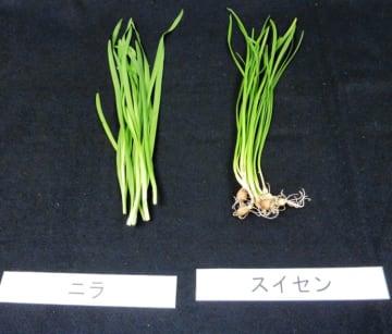 ニラ(左)と似ている有毒植物のスイセン