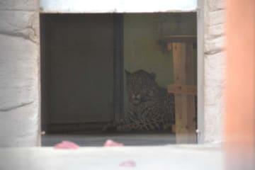 警戒しているのか、おりの奥にある寝部屋から出てこようとしない雄のジャガー「ハク」=17日、沖縄市の「こどもの国」