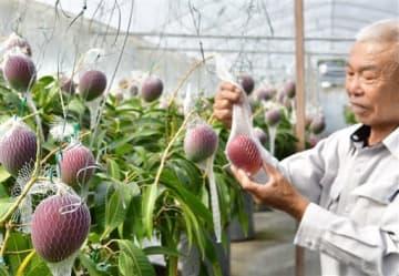 完熟したマンゴーを丁寧に収穫する山下亀男さん=天草市