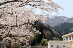 頂上付近に雪が残る県内最高峰の氷ノ山を背景に満開となった桜=養父市奈良尾