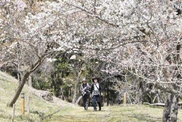 種類豊富な八重桜が楽しめる「通り抜けの桜」=16日、長瀞町長瀞の不動寺の裏山