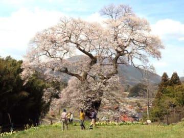 見頃を迎えた小奴可の要害桜を観賞する観光客