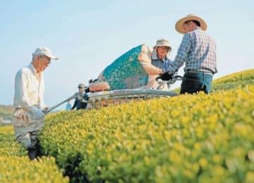県内トップを切って茶摘みをする従業員=19日午前、宇佐市四日市の千財農園