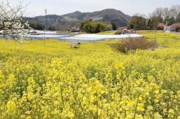 鮮やかな黄色に輝く菜の花畑