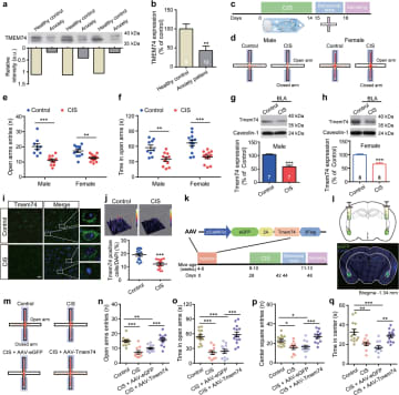 中国の研究者、不安抑制のタンパク質特定