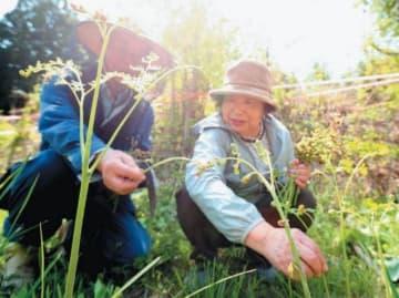 自宅近くの山でワラビを摘む岩野さん夫婦=19日、宇佐市院内町