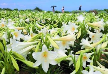 祭り会場に咲く真っ白なテッポウユリ=18日、伊江村リリーフィールド公園
