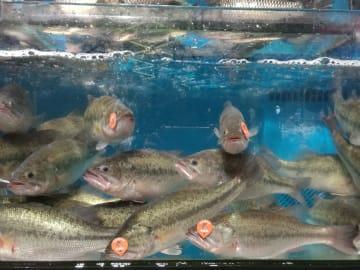 魚に「身分証」を発行 2次元バーコードで生産流通履歴を提供
