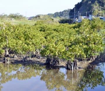 緑が生い茂り、樹勢が回復してきた群落北側のメヒルギ=鹿児島市喜入生見町