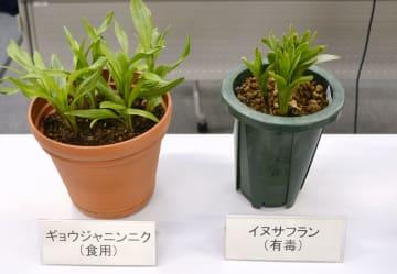 食用のギョウジャニンニク(左)と間違いやすい有毒のイヌサフラン