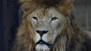 宇都宮動物園の人気者だったアフリカライオンのリオン(宇都宮動物園提供)