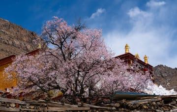 古寺を彩る桃の花 チベット自治区ラサ