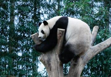 韓国在住のジャイアントパンダ「愛宝」「楽宝」、来韓3周年