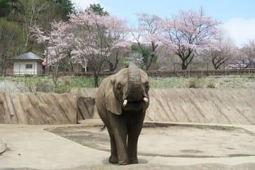 アフリカゾウのマオ(画像提供:盛岡市動物公園、以下同)