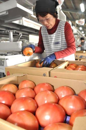 トマトを仕分けして箱に詰めるスタッフ