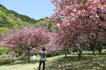 満開のボタン桜を背景に写真を撮る来園者=豊後大野市大野町のえぼし公園