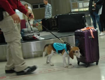 旅客の荷物を調べる検疫探知犬=22日、成田空港第2ターミナル