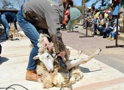ヒツジの毛をバリカンで刈る飼育員=神戸市灘区六甲山町