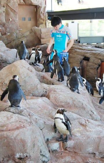 餌やりのスタッフの周りに集まるケープペンギン=京都水族館