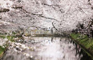 見頃を迎えた弘前公園の桜=23日、青森県弘前市