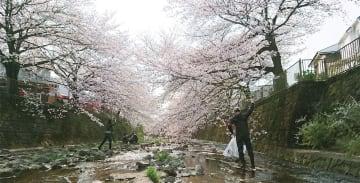 花が満開の桜の木の下を流れる恩田川で活動を続けるメンバーたち