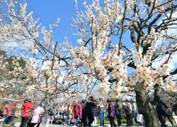 偕楽園の梅=3月8日撮影、水戸市常磐町
