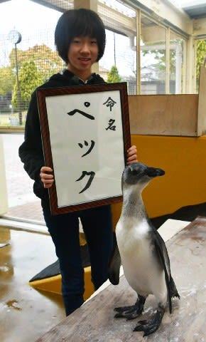 ぼく「ペック」よろしく 11月誕生のケープペンギン 久留米市・鳥類センター [福岡県]