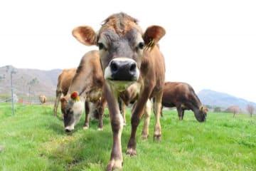 牧草地に放たれたジャージー牛=真庭市・上蒜山の麓