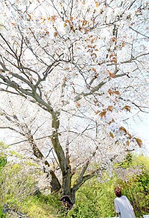 〔ふくしま・さくらだより〕石割桜 ヤマザクラ...御影石割る