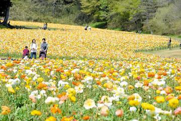 約70万本のアイスランドポピーが咲き誇る花畑=滑川町山田の国営武蔵丘陵森林公園
