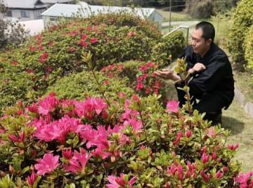 朝日寺本堂の裏山で咲き始めた色鮮やかなツツジ