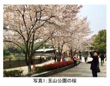 <コラム>反日暴動から7年、日中友好で植樹した桜は立派に成長した