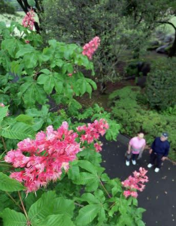 雨にぬれて色鮮やかさを増すマロニエの花=鹿児島市の吉野公園