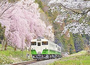〔ふくしま・さくらだより〕只見線のしだれ桜 列車走る桜満開